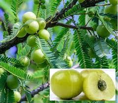 Los beneficios para la salud de Phyllanthus