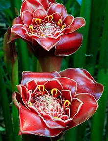 tulipán Helani