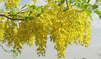 árbol de casia africana