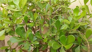 Clusia studartiana, planta brasileña